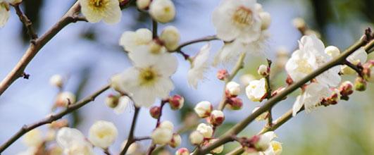 アイキャッチ画像。春の麗かな日差しを受ける白梅。写真素材サイトPAKUTASOより。